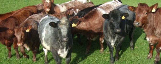 Beef heifers