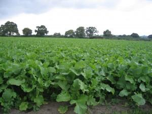 Fodder crops