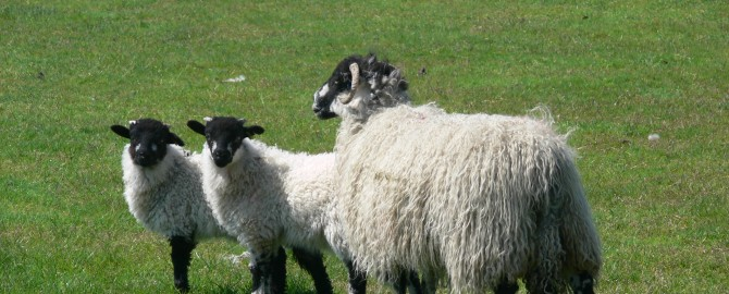 Swaledale with lambs