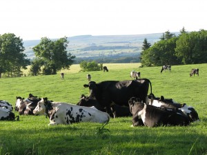 Cows at grass