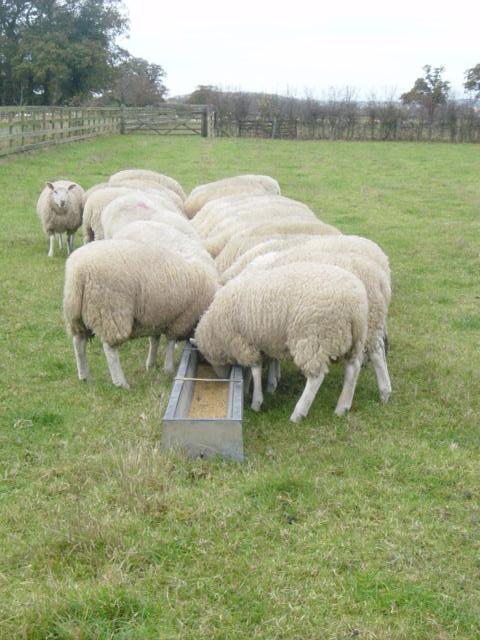 Finishing lambs - W E  Jameson & Son